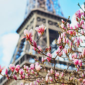 Pink magnolia wallpaper